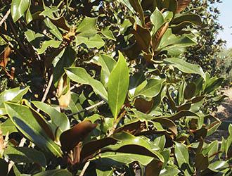 magnolios
