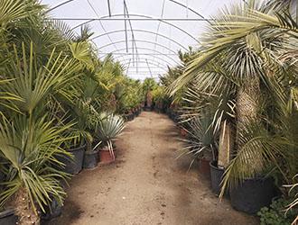 vivero de palmeras madrid
