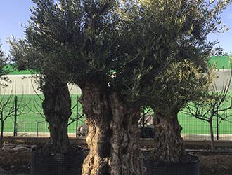 vivero de olivos madrid