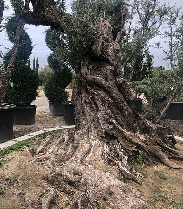 venta de olivos artisticos
