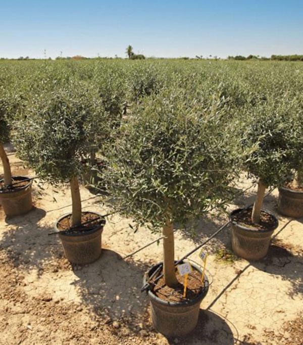 venta de olivos de copa