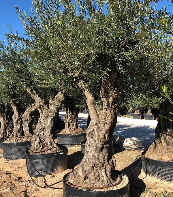 venta de olivos de formacion libre