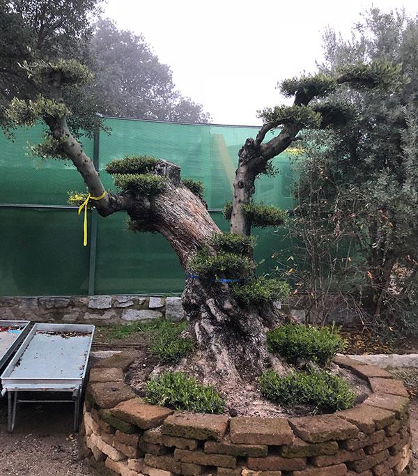 Venta de olivos topiarios