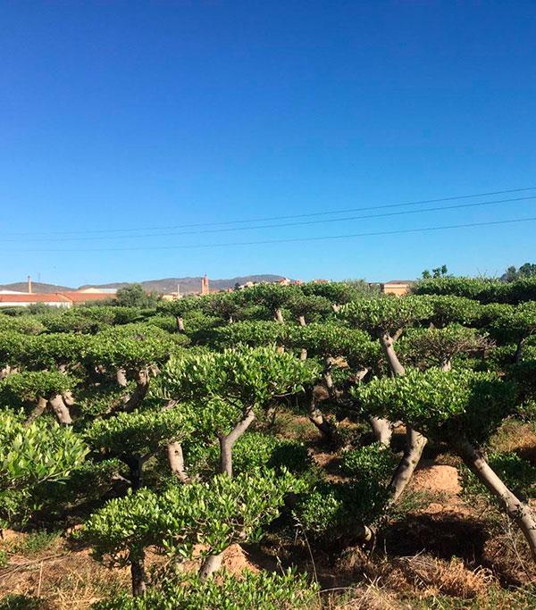 Venta de olivos Zen