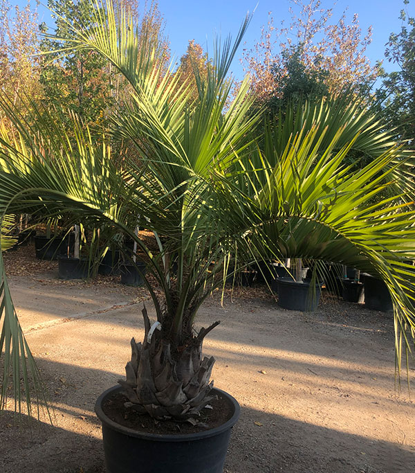 Venta de palmeras butia capitata