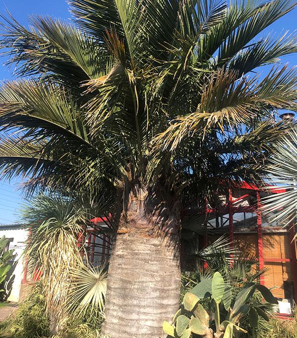 Venta de palmeras Jubaea Chilensis