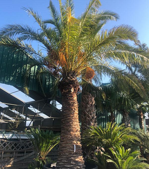 Venta de palmeras Phoenix Canariensis