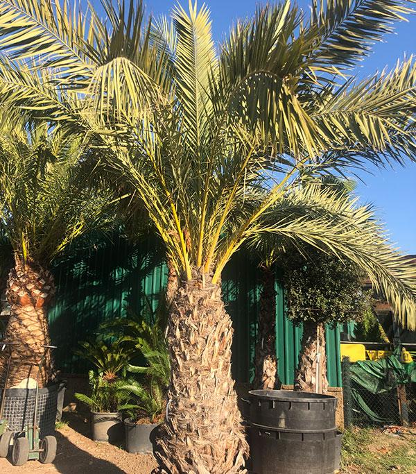 Venta de palmeras Phoenix Dactylifera