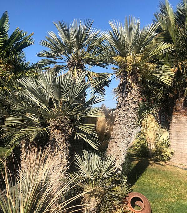 Venta de palmeras Trithrinax Campestris