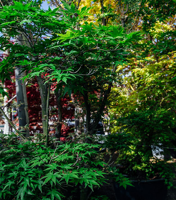 Venta de Acer Palmatum