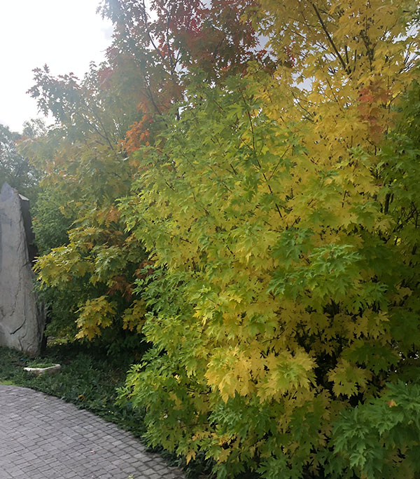 Venta de Acer Frondoso