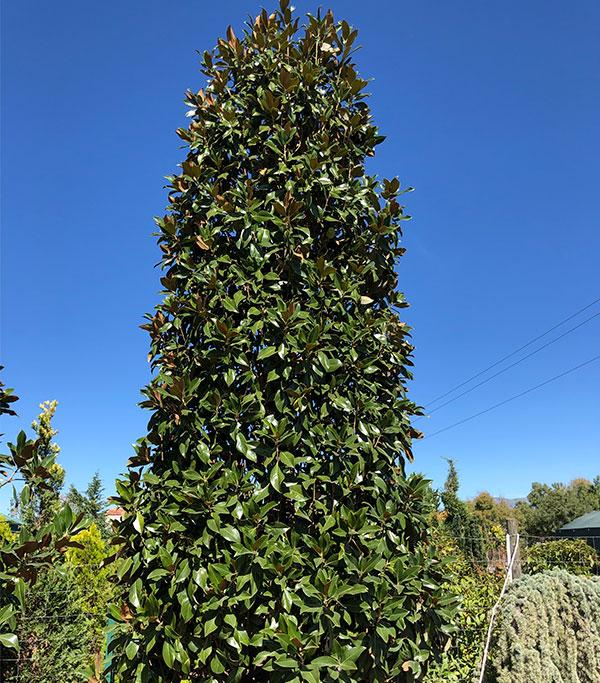 venta de magnolia hoja perenne