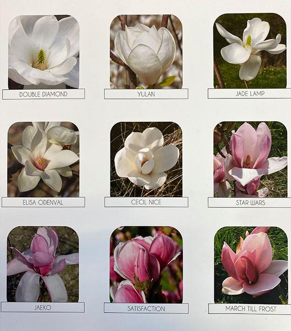 Venta de magnolias chinas